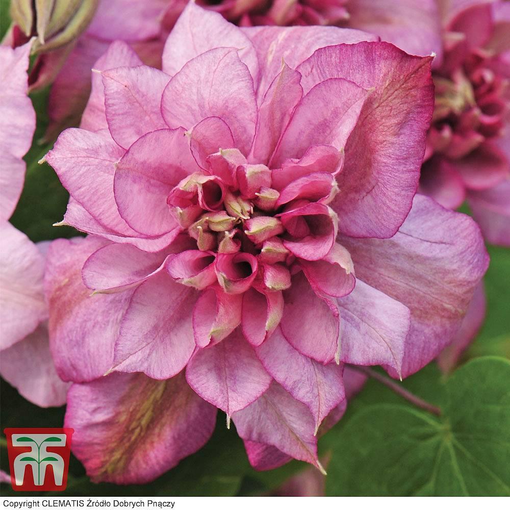 Clematis plants thompson morgan 4 reviews mightylinksfo