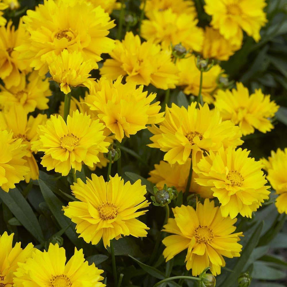 coreopsis grandiflora 39 presto 39 seeds thompson morgan. Black Bedroom Furniture Sets. Home Design Ideas