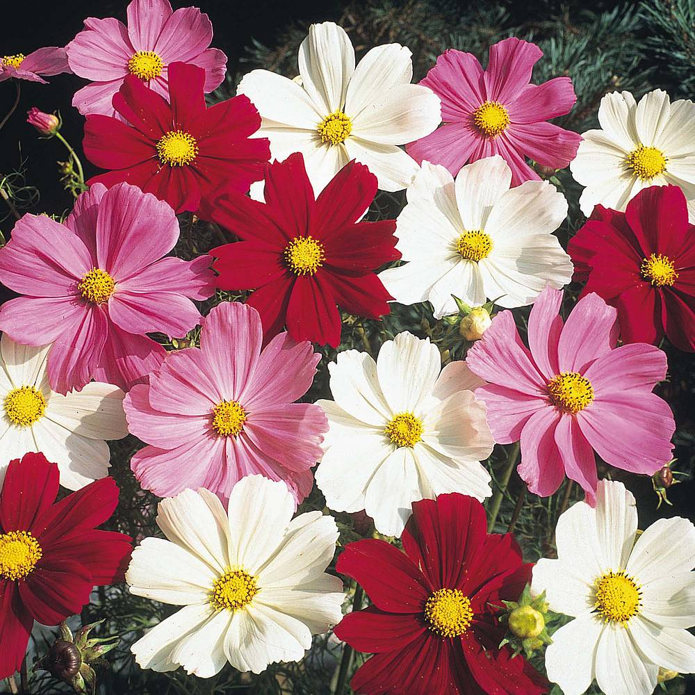 Cosmos seeds thompson morgan 5 packets for the price of 4 izmirmasajfo