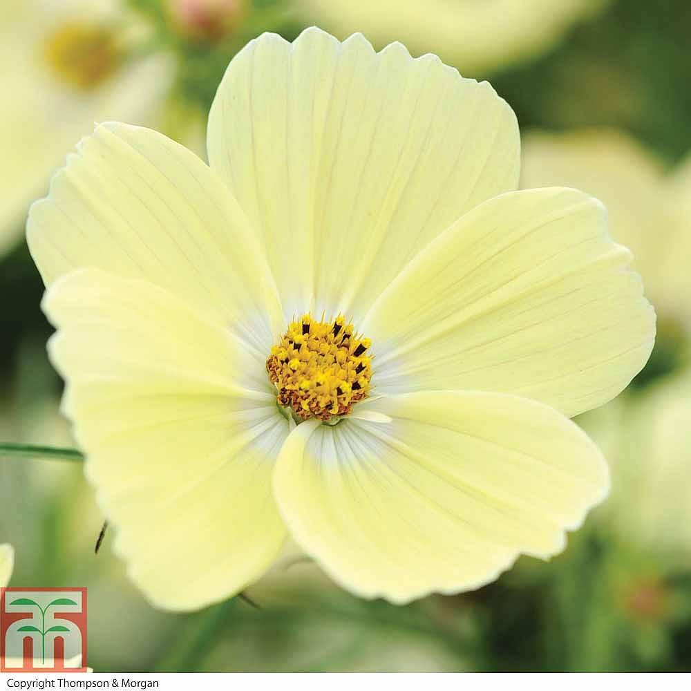 Cosmos Bipinnatus LemonadeTM Garden Ready
