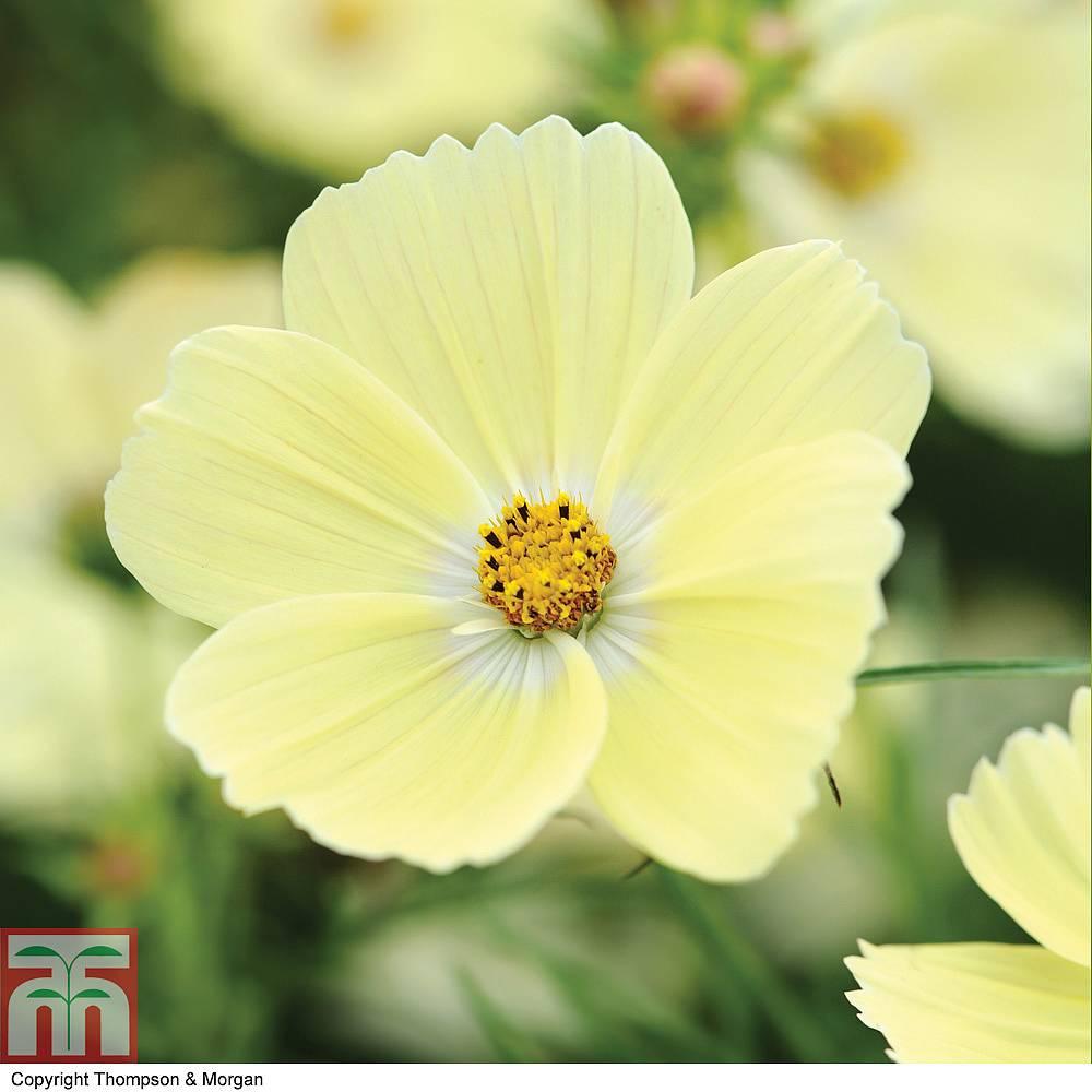 Cosmos Bipinnatus Lemonadeac Seeds