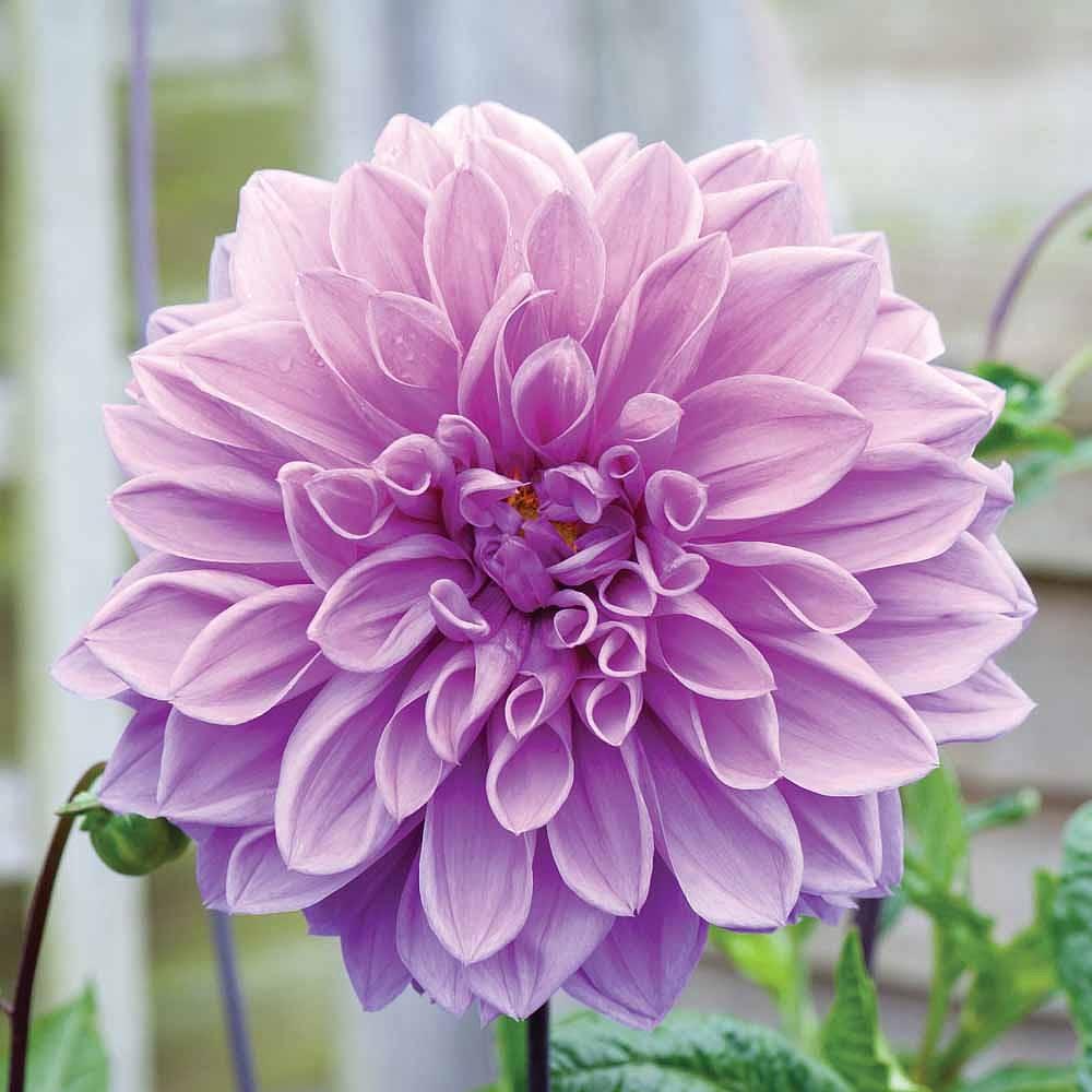 Dahlia Lavender Ruffles Thompson Morgan