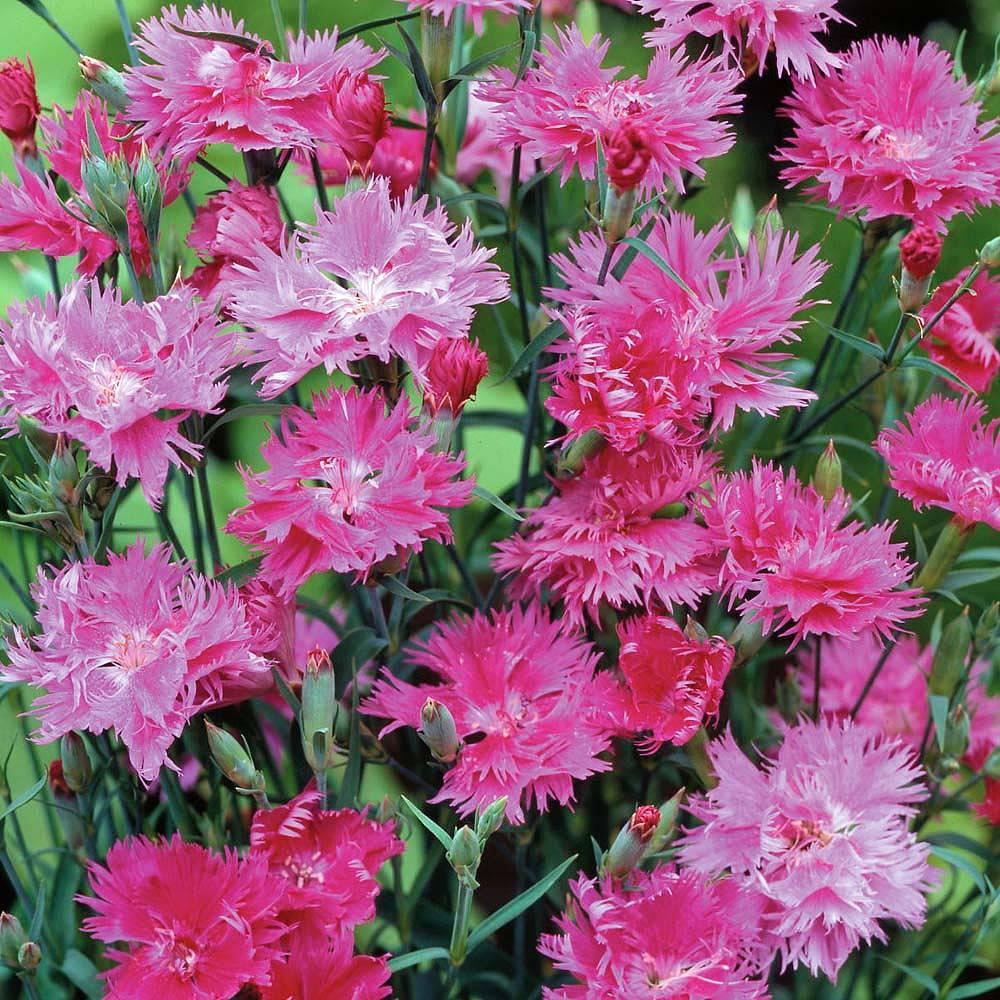 Hardy annual seeds thompson morgan 2 reviews izmirmasajfo