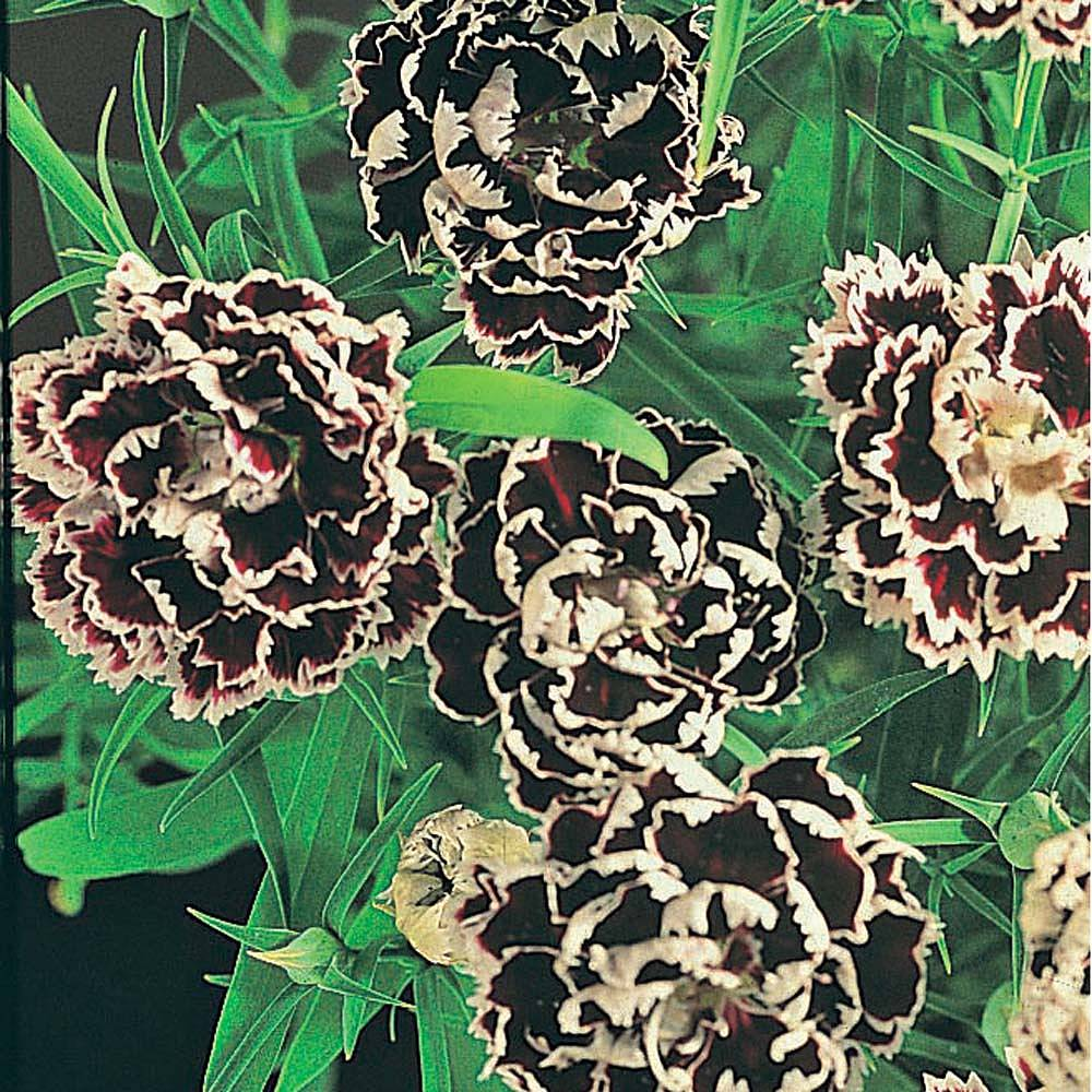 dianthus chinensis heddewigii 39 black and white minstrels. Black Bedroom Furniture Sets. Home Design Ideas
