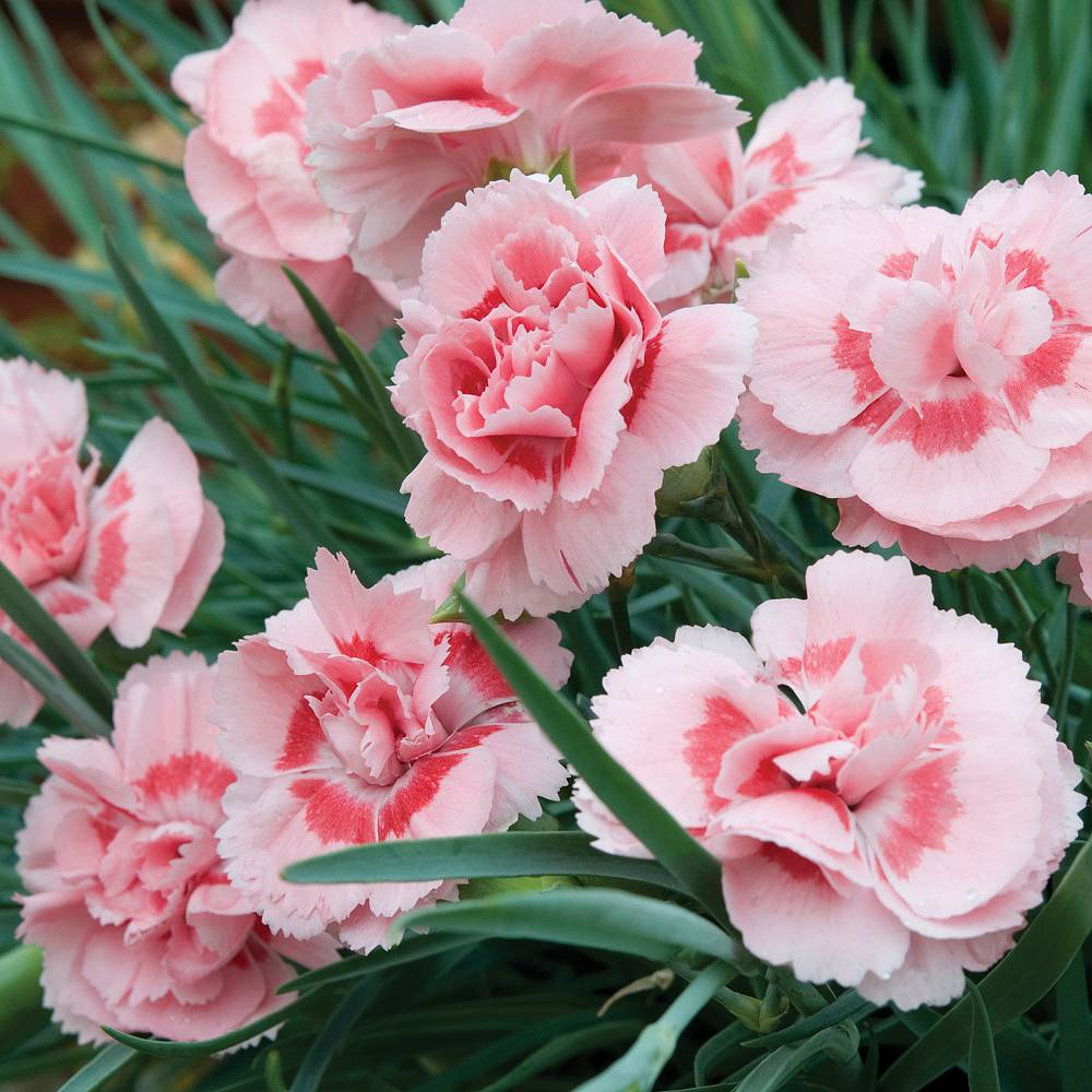 Dianthus Doris Plug Plants Thompson Morgan