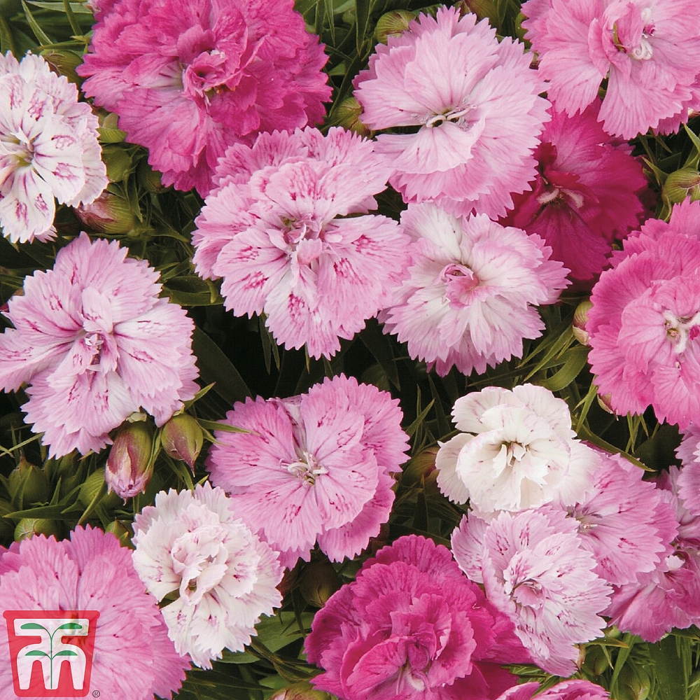 Dianthus Dynasty Pink Magic Seeds Thompson Morgan