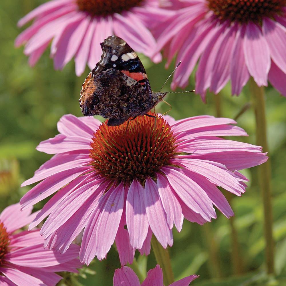 echinacea purpurea 39 pink parasol 39 plug plants thompson. Black Bedroom Furniture Sets. Home Design Ideas