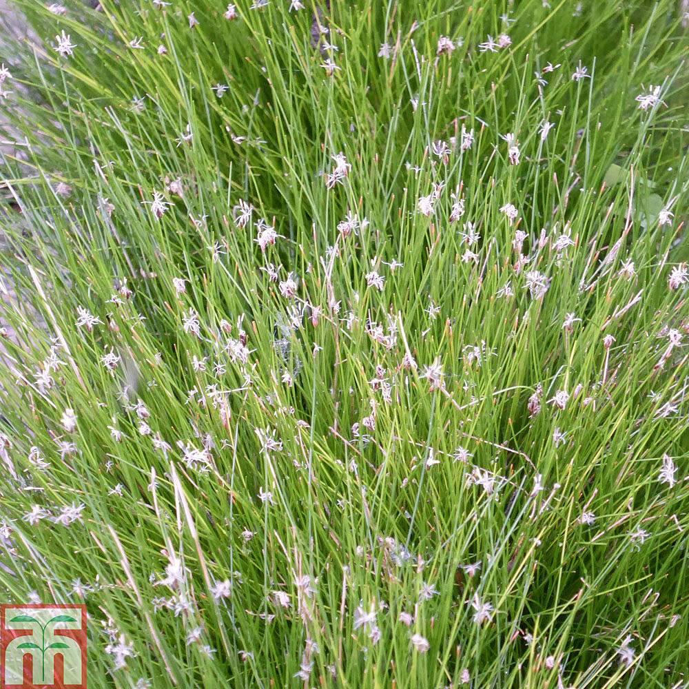 Winter Gardening For Beginners: Eleocharis Acicularis (Oxygenating Aquatic) Plants