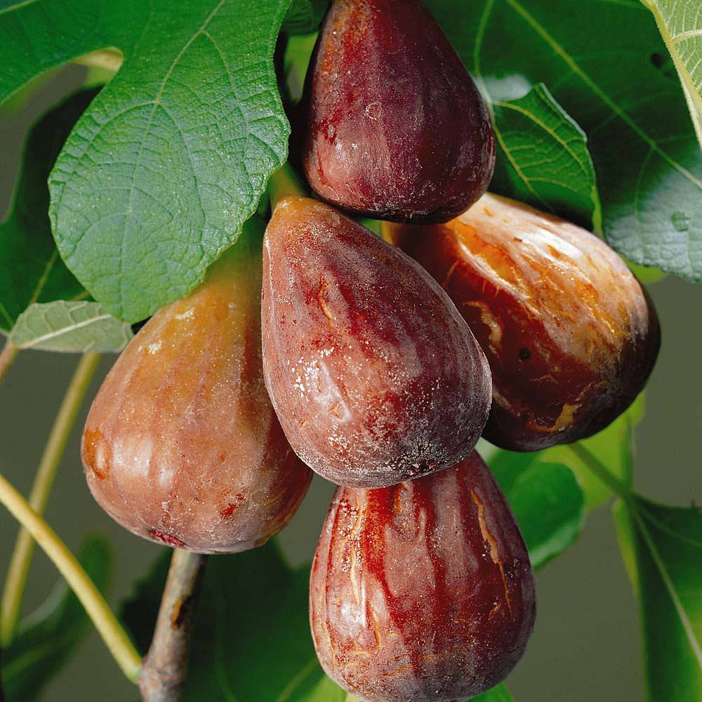 Figs Fruits Images