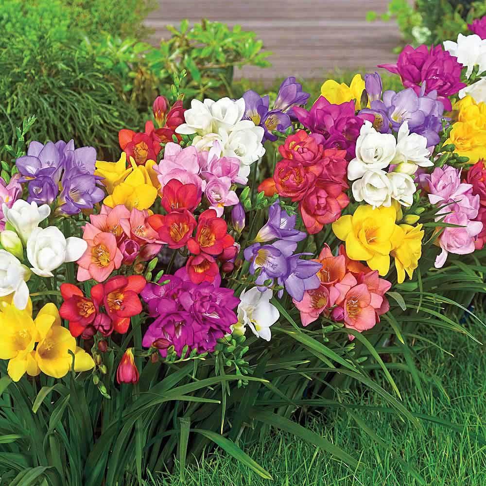 Flowers freesia: description of the plant 24