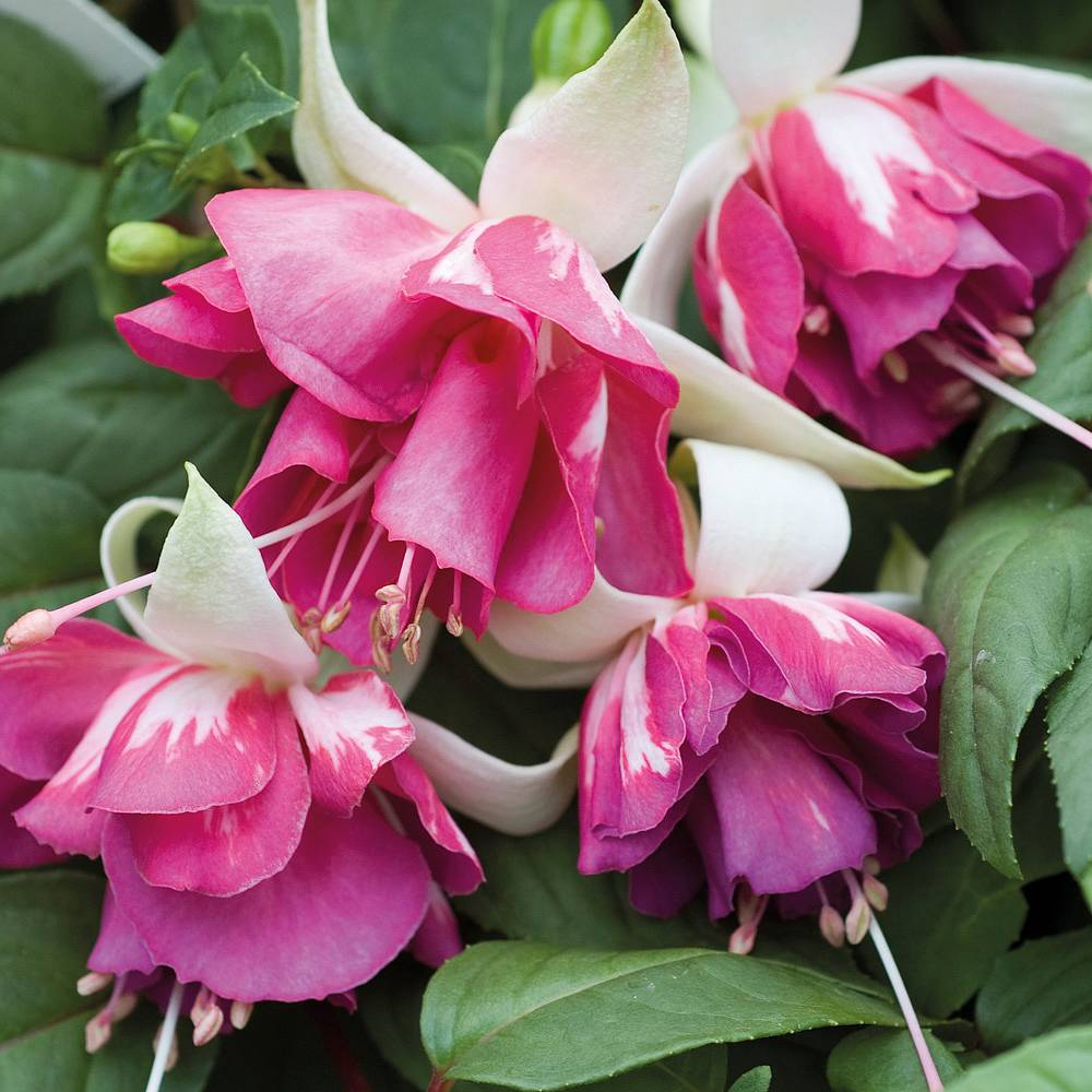 Fuchsia Plants Thompson Morgan