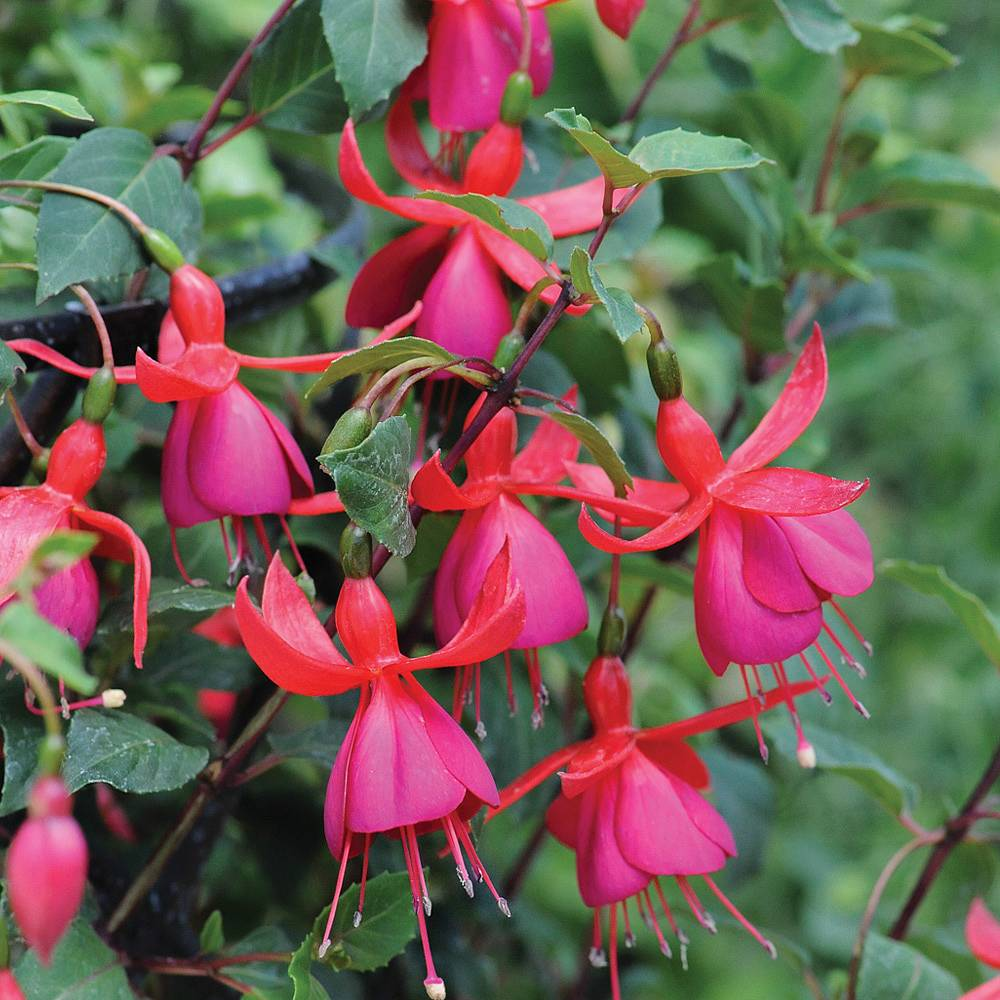 Picture of Live Fuchsias Pink Plant Fit 1QRT Pot