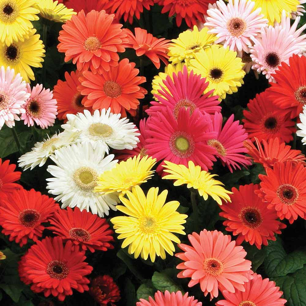 Gerbera jamesonii tm mixed f2 hybrid seeds thompson morgan previous izmirmasajfo