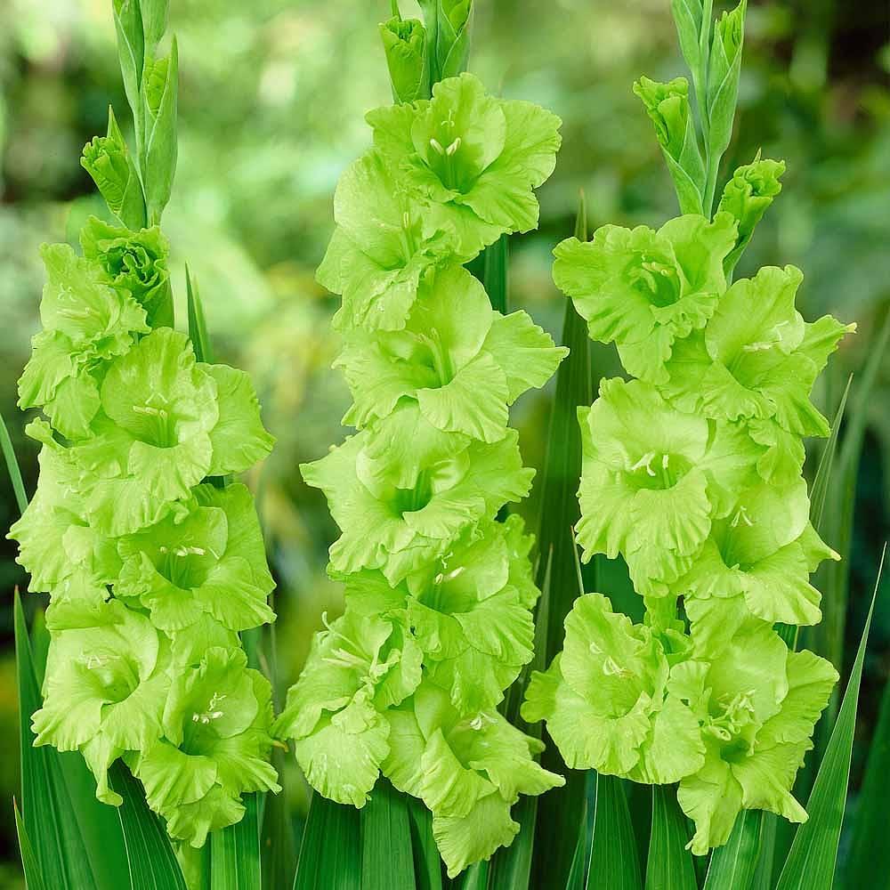 Gladiolus Green Star Thompson Morgan