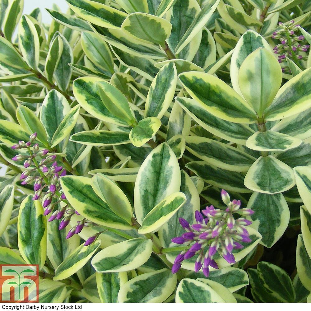 Hebe 39 silver queen 39 plants thompson morgan for Hebe pianta