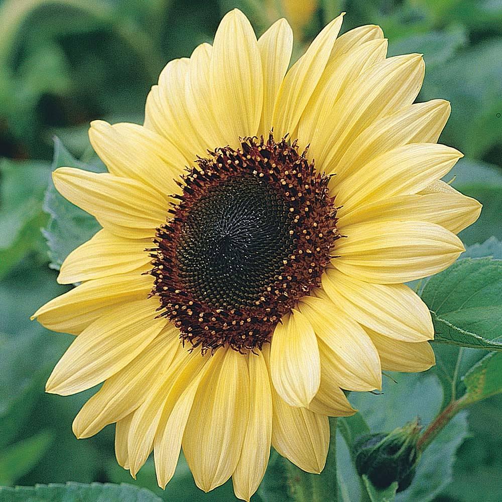 sunflower 39 valentine 39 seeds thompson morgan. Black Bedroom Furniture Sets. Home Design Ideas