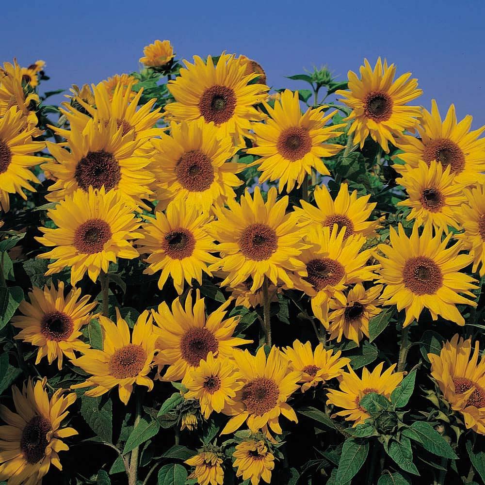 sunflower seeds thompson morgan