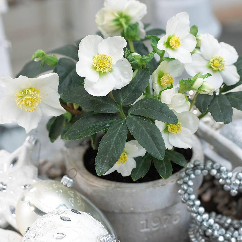 hellebore  u0026 39 christmas carol u0026 39  plants