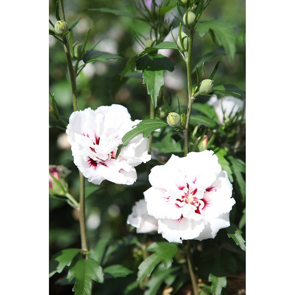 hibiscus syriacus 39 lady stanley 39 plants thompson morgan. Black Bedroom Furniture Sets. Home Design Ideas