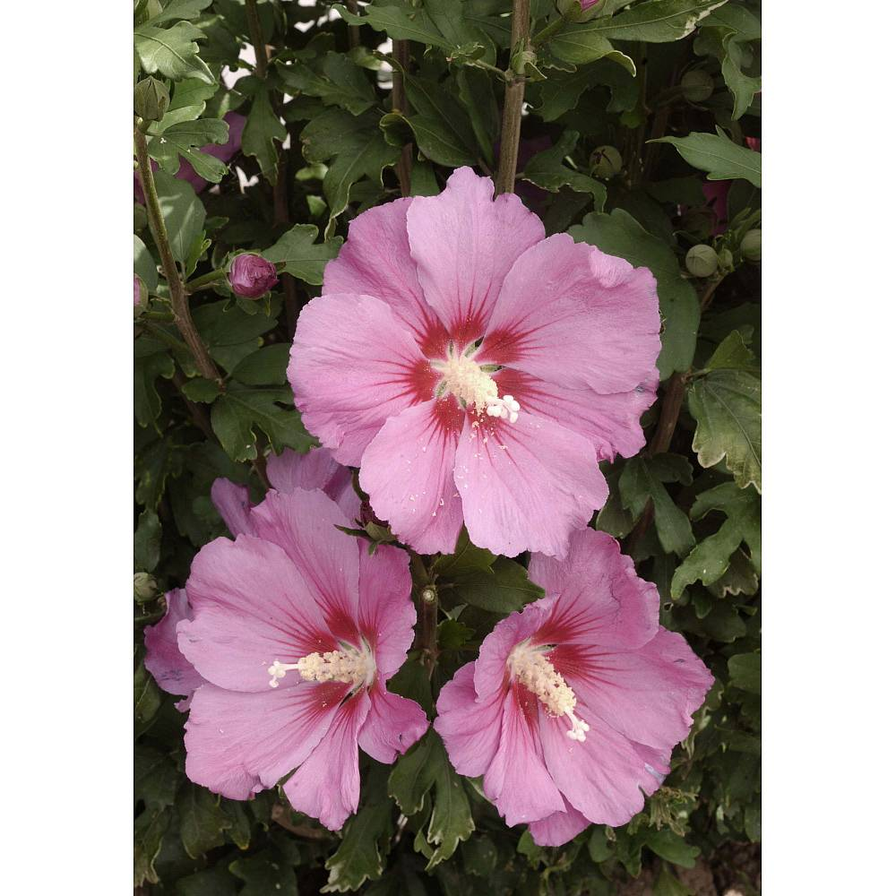 Hibiscus shrubs for sale in the uk thompson morgan 1 review izmirmasajfo