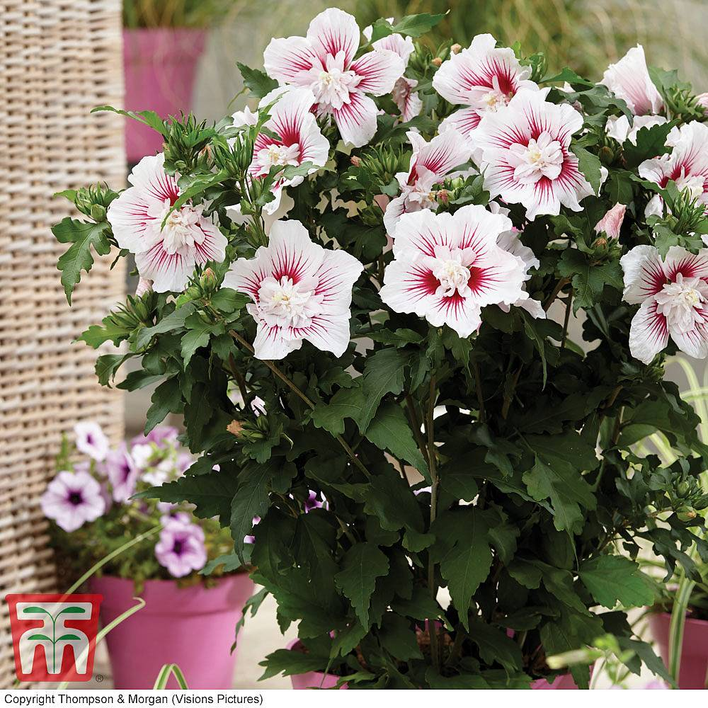 Hibiscus shrubs for sale in the uk thompson morgan 16 reviews izmirmasajfo