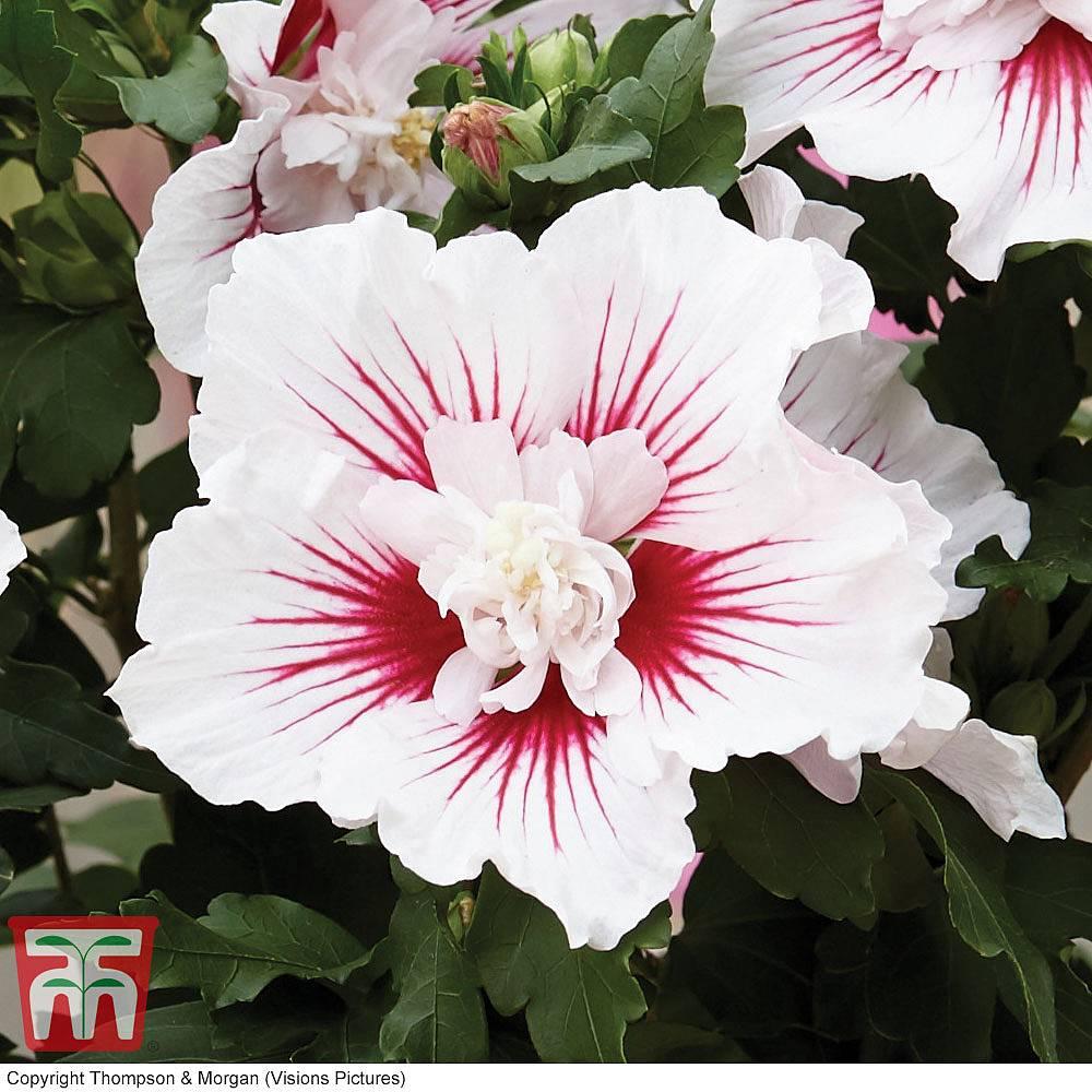 Hibiscus Starburst Chiffon Thompson Morgan