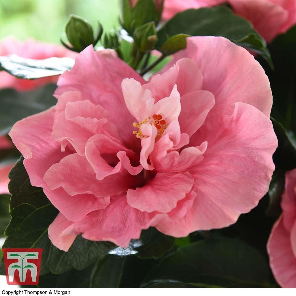 Hibiscus Rosa Sinensis Adonicus Double Pink Thompson Morgan