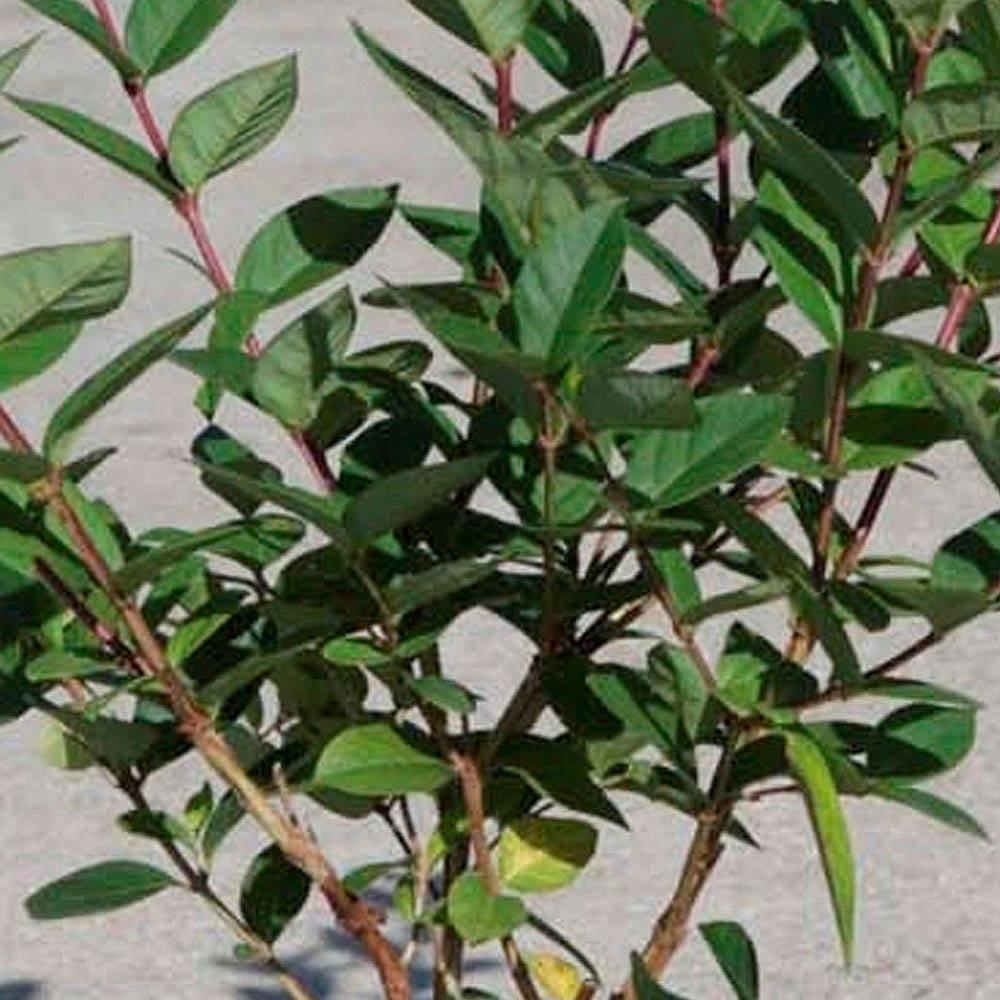 honeysuckle 39 winter beauty 39 plants thompson morgan. Black Bedroom Furniture Sets. Home Design Ideas