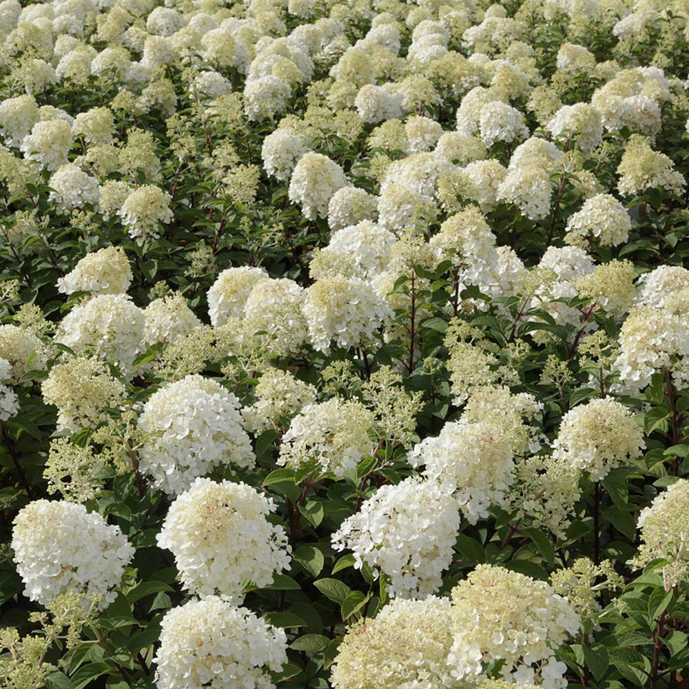 hydrangea paniculata 39 bobo 39 plants thompson morgan. Black Bedroom Furniture Sets. Home Design Ideas