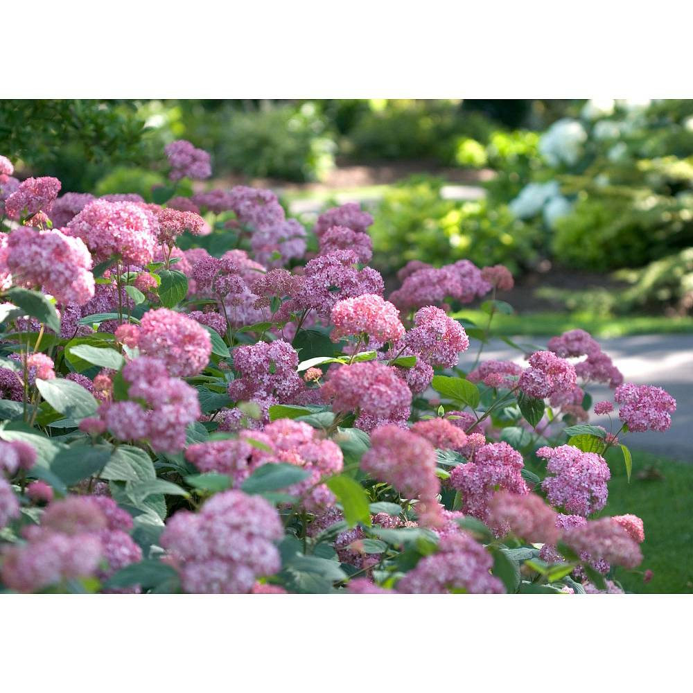 hydrangea arborescens 39 pink annabelle 39 plants thompson morgan. Black Bedroom Furniture Sets. Home Design Ideas