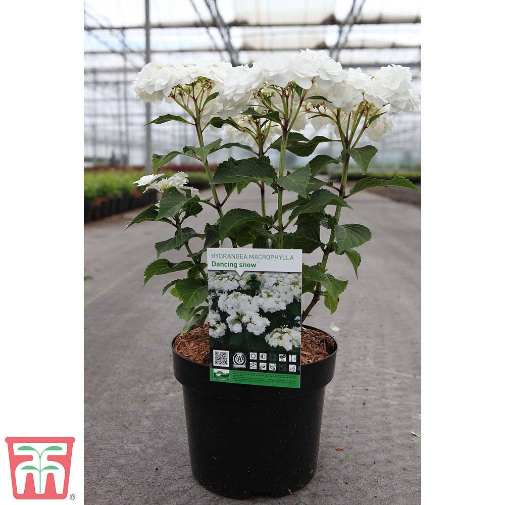 White Wedding Gown Hydrangea: Hydrangea Macrophylla 'Wedding Gown'
