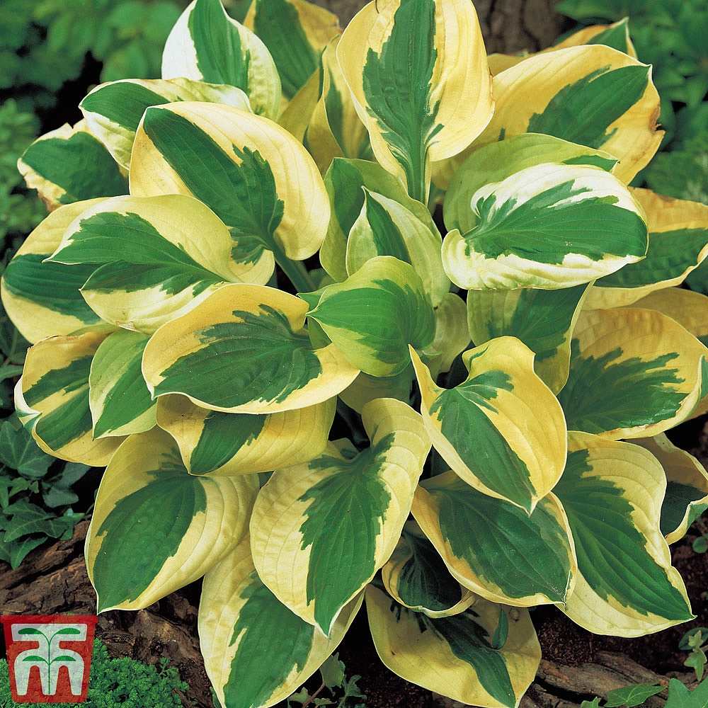 Hosta Collection Thompson Morgan