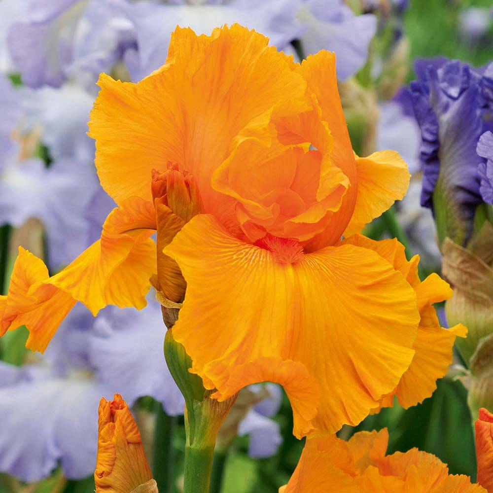 Iris Orange Harvest Re Blooming Thompson Morgan