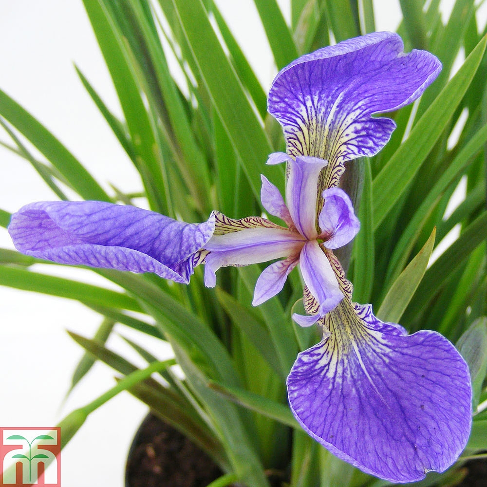 Iris Setosa Baby Blue Thompson Morgan