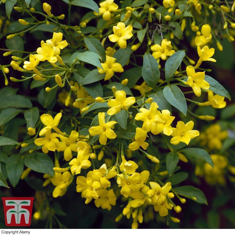 Jasminum Humile Revolutum Plants Thompson Morgan