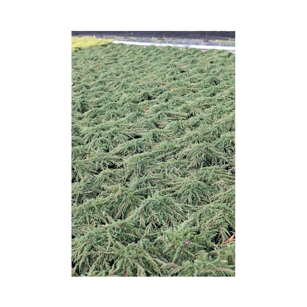Juniperus Communis 'Green Carpet' Plants