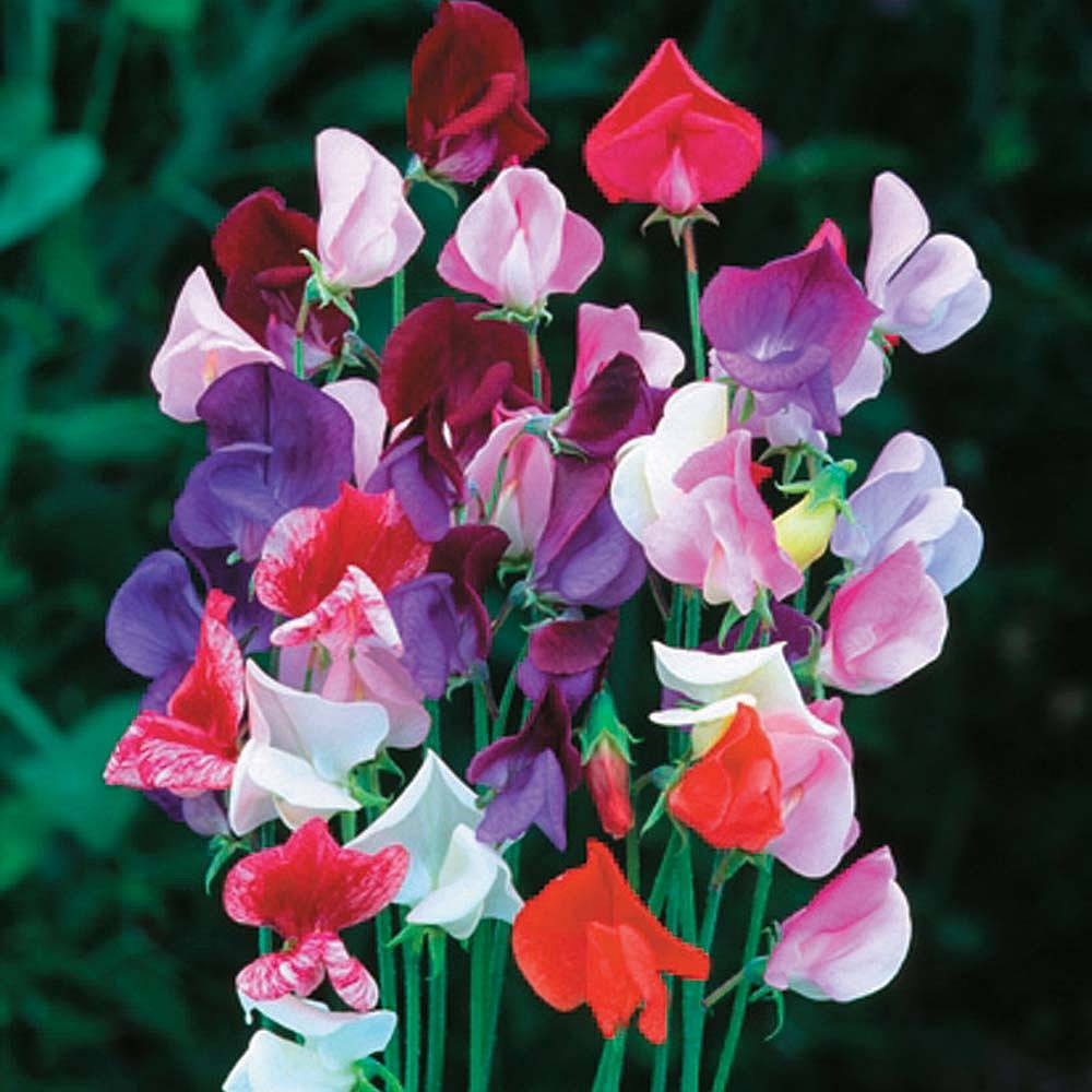 How To Grow Sweet Peas - Floret Flowers