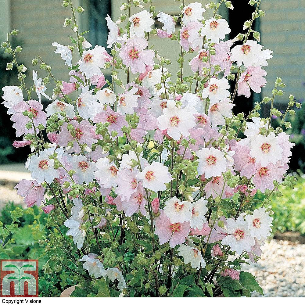 lavatera x clementii 39 barnsley baby 39 plants thompson. Black Bedroom Furniture Sets. Home Design Ideas