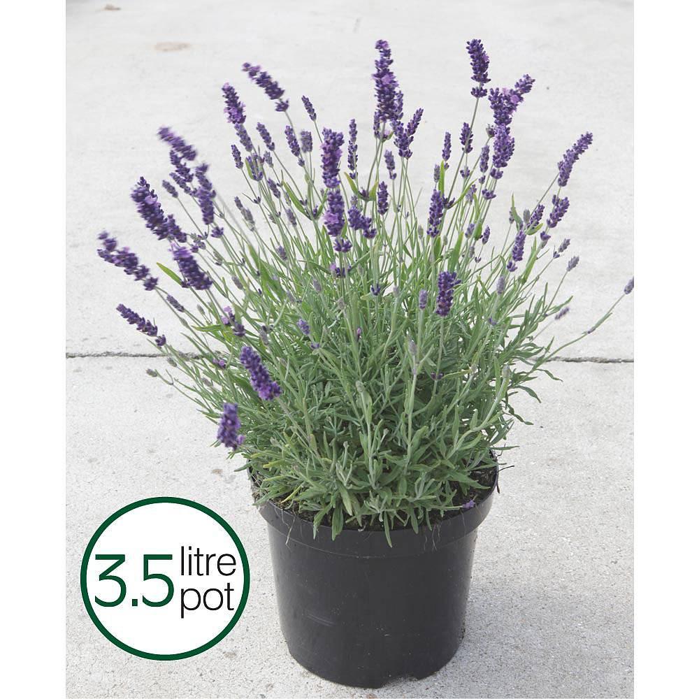 Lavender \u0027Hidcote\u0027 plants | Thompson \u0026 Morgan