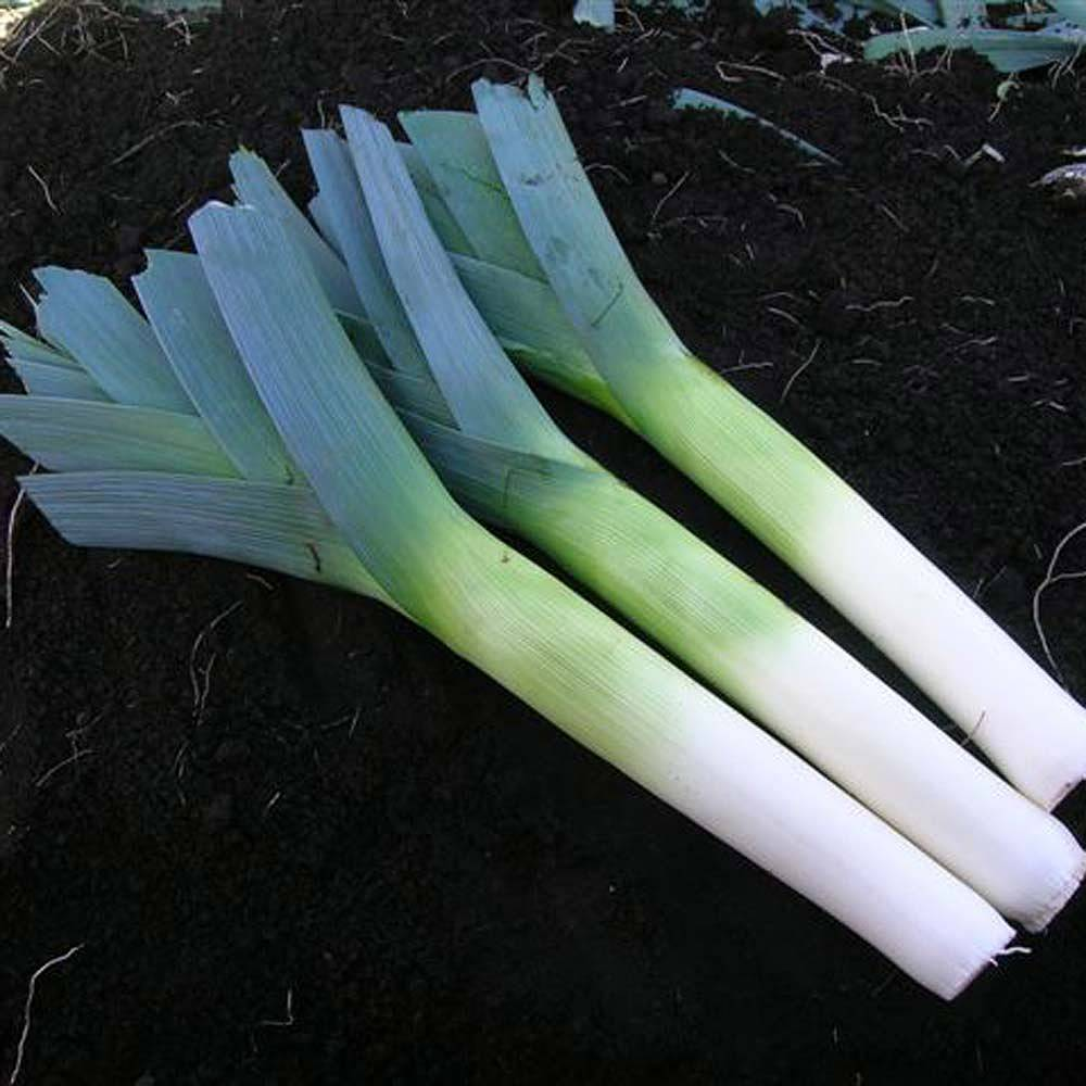 leek below zero f1 hybrid seeds thompson morgan