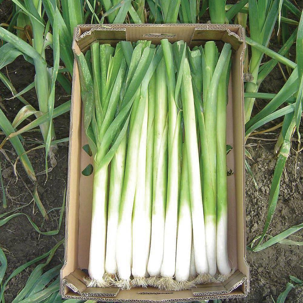leek bulgaarse reuzen lincoln seeds thompson morgan