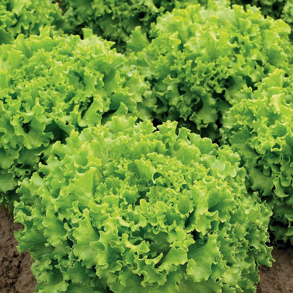 lettuce 39 lettony 39 batavian seeds thompson morgan. Black Bedroom Furniture Sets. Home Design Ideas