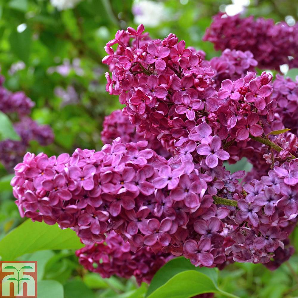 Lilac Souvenir De Louis Spaeth Plants Thompson Amp Morgan