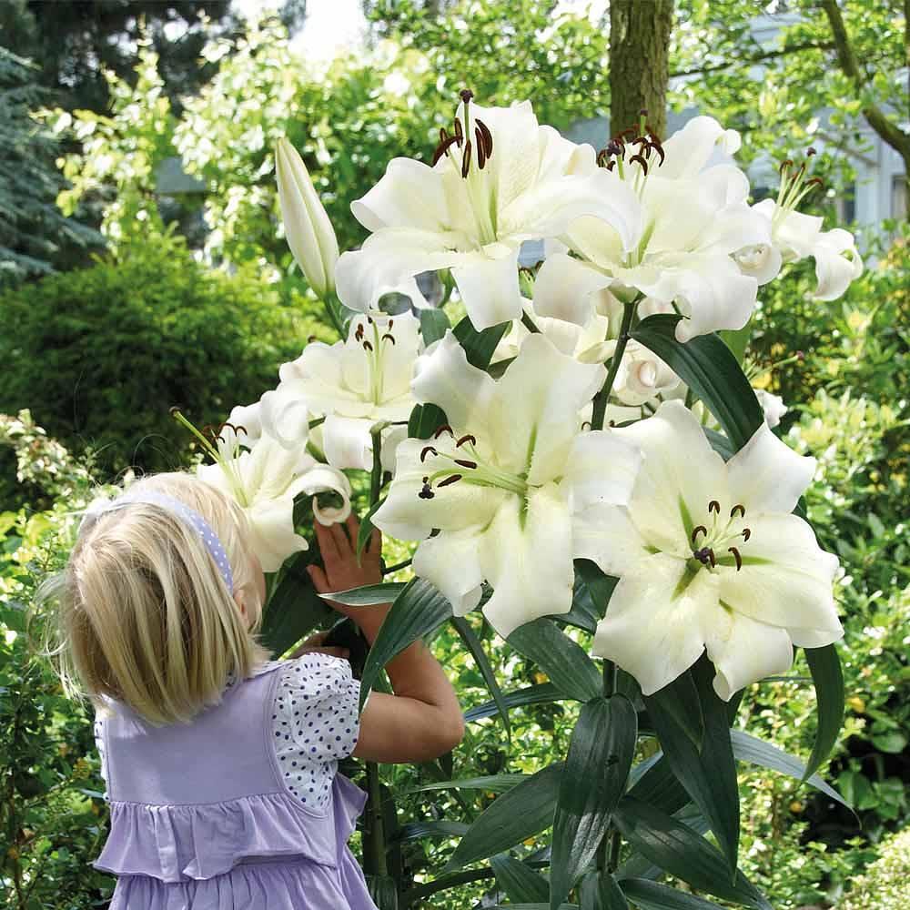 Lily bulbs thompson morgan 144 reviews izmirmasajfo