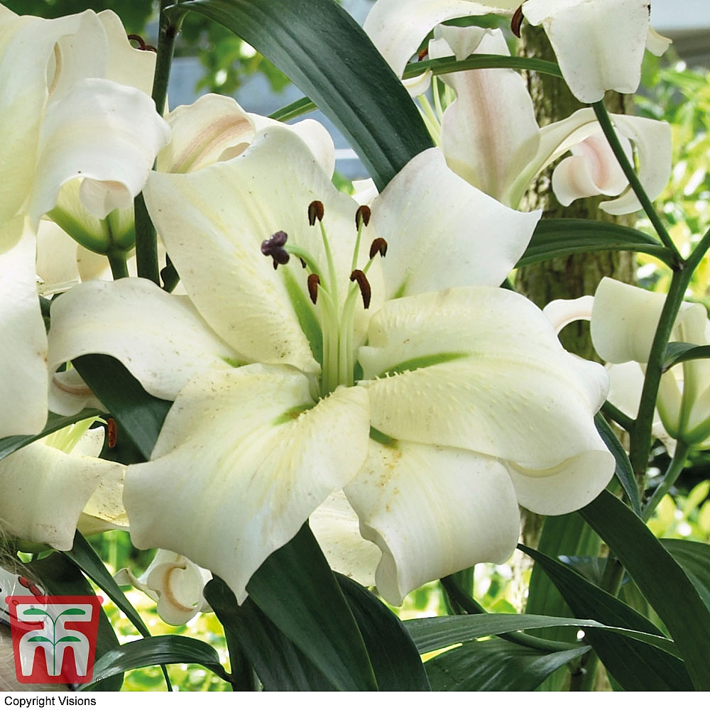Tree lily pretty woman thompson morgan previous izmirmasajfo Choice Image