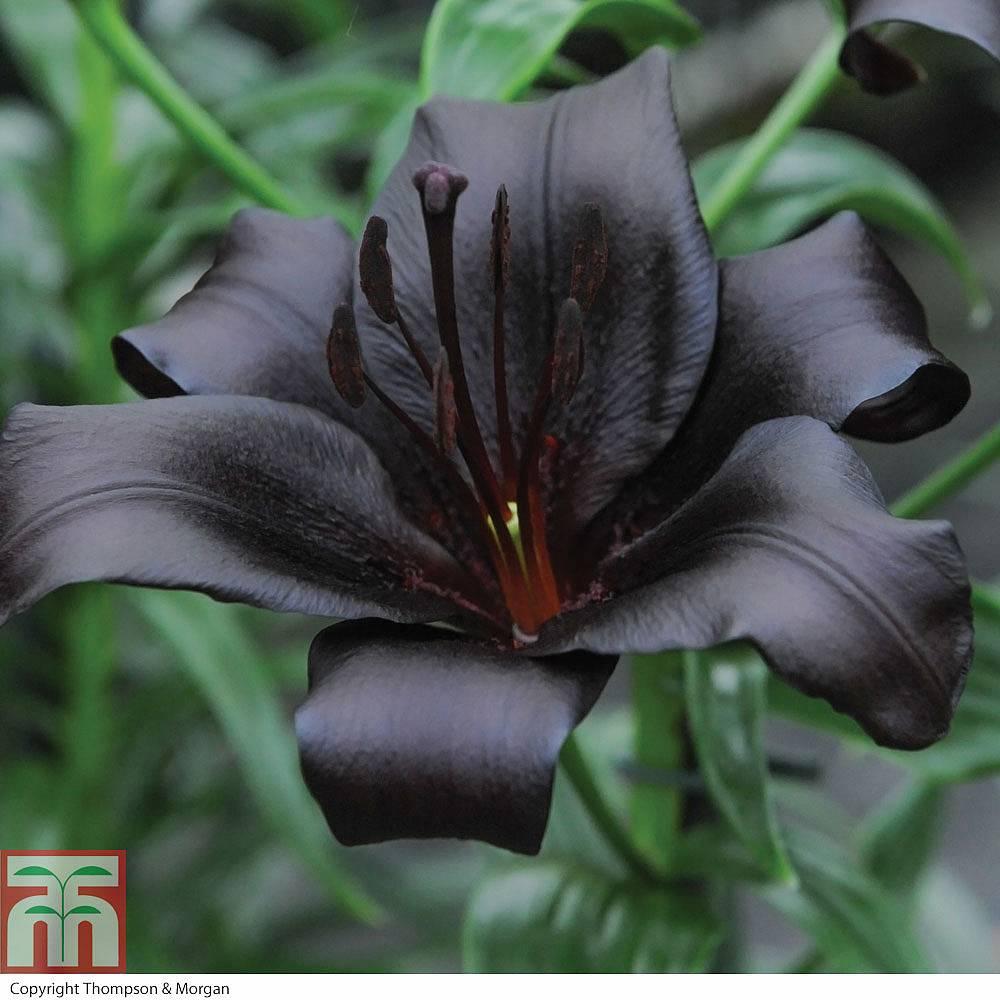 Lily night rider thompson morgan lily night riderliliumasiatic lily izmirmasajfo