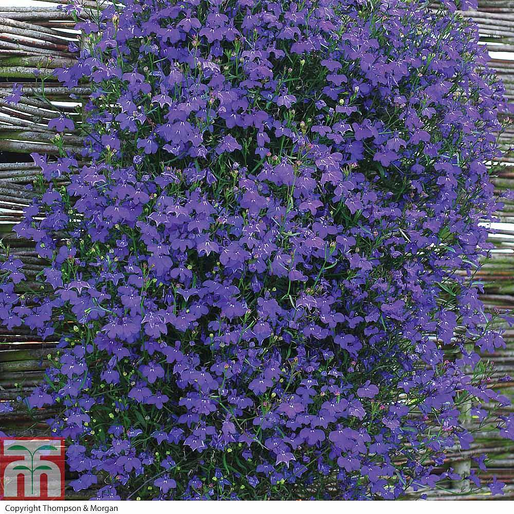 Lobelia Monsoon Plug Plants Thompson Morgan