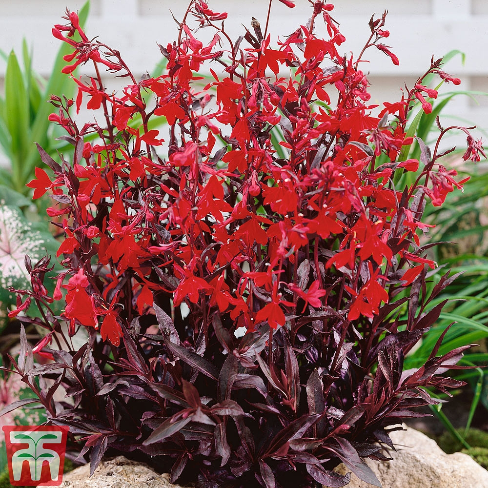 Lobelia Cardinalis Queen Victoria Plants Thompson Morgan