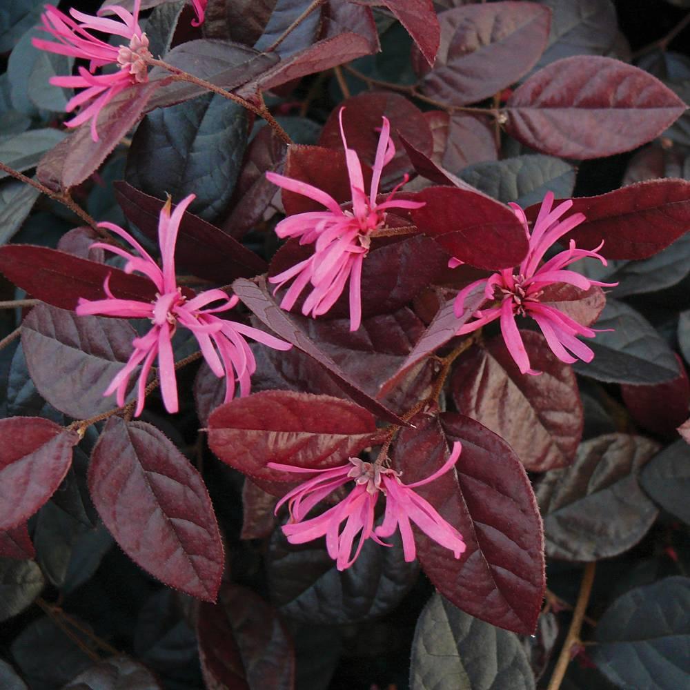 Winter Gardening For Beginners: Loropetalum Chinense Var. Rubrum 'Fire Dance' Plants