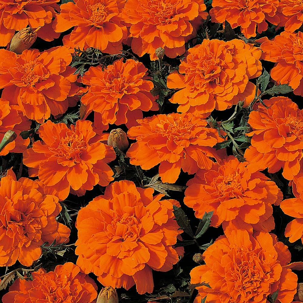 Marigold Seeds Thompson Morgan